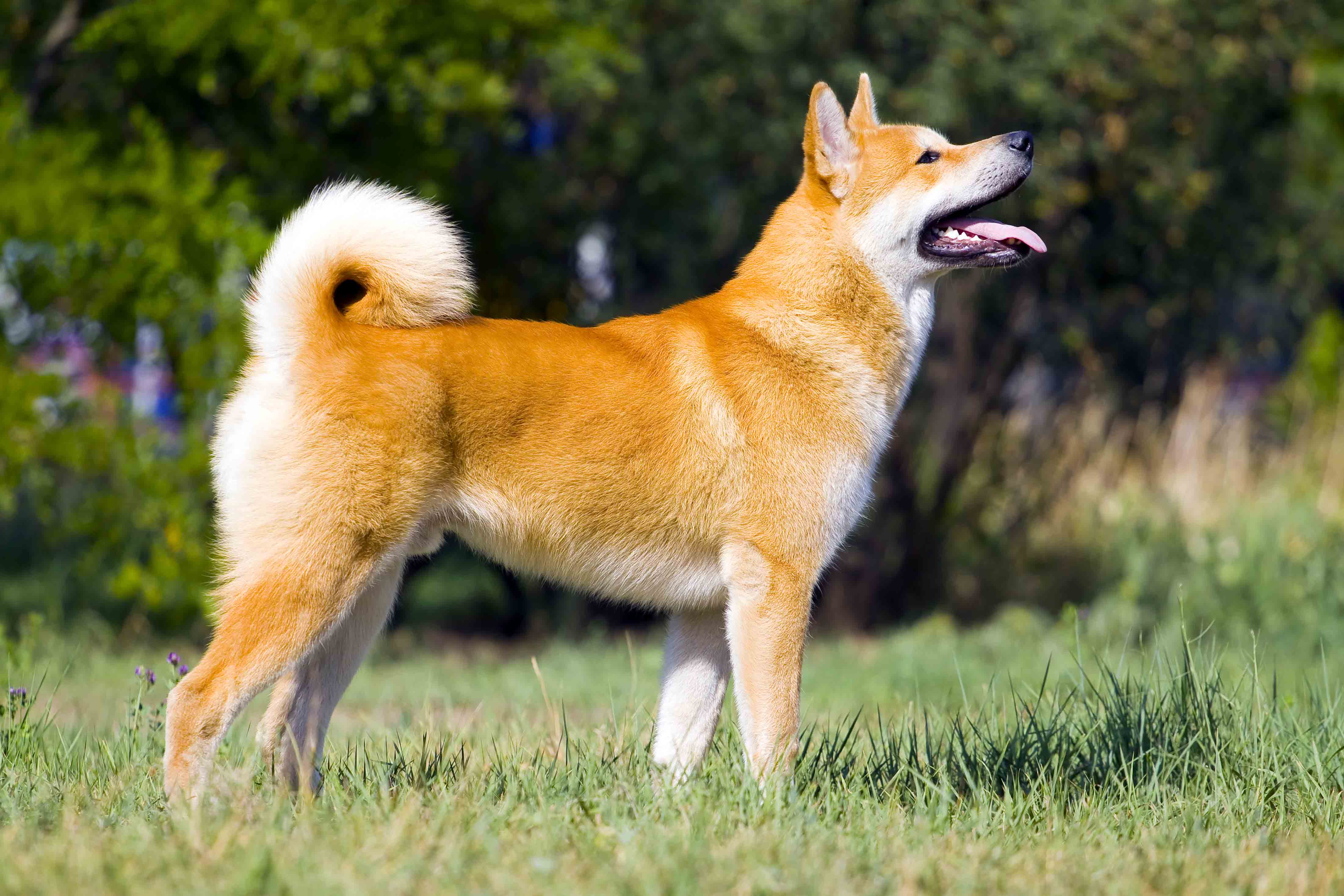Best Dog Food For An Akita With A Sensitive Stomach Spot And Tango