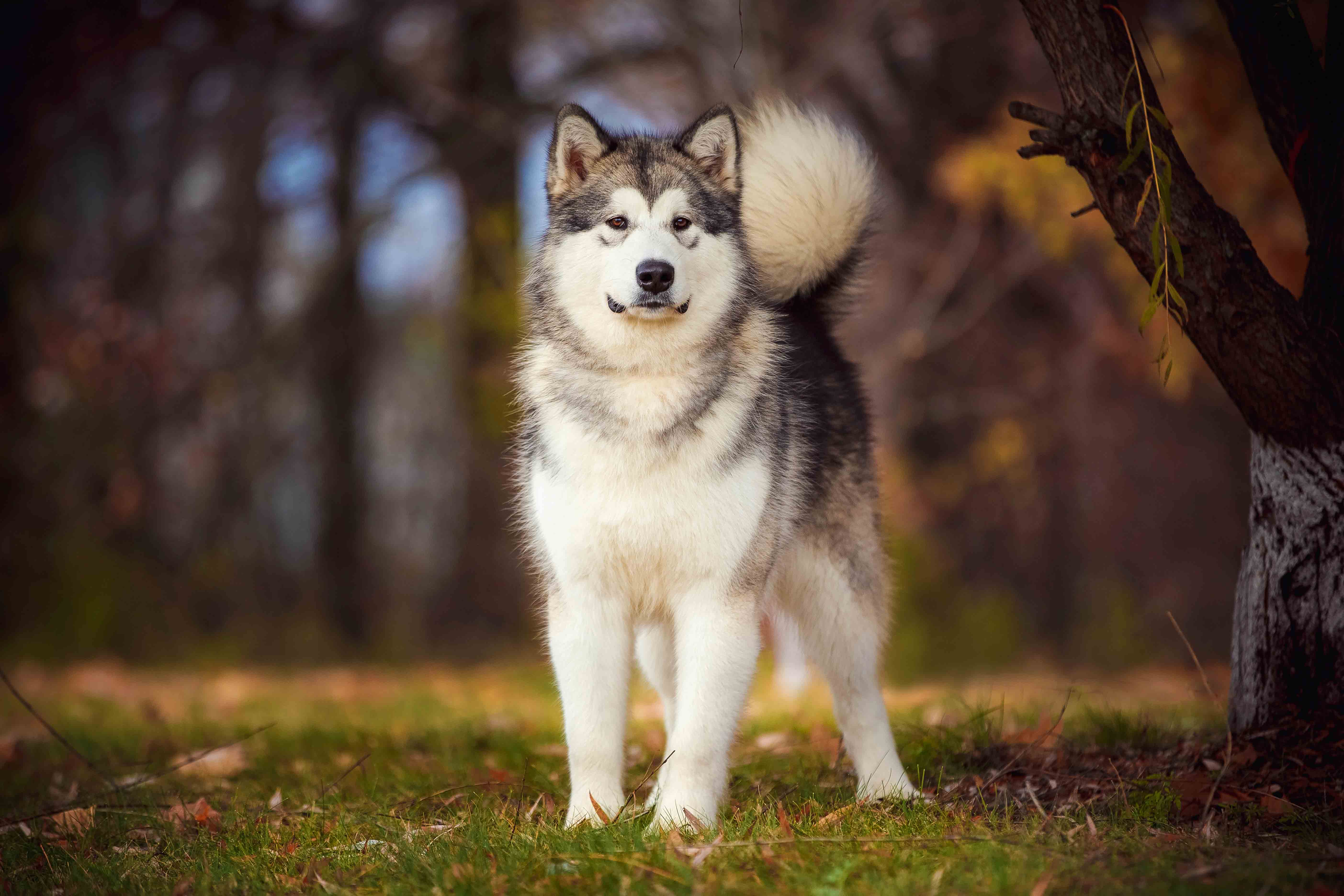 Best Dog Food For A Senior Alaskan Malamute Spot And Tango