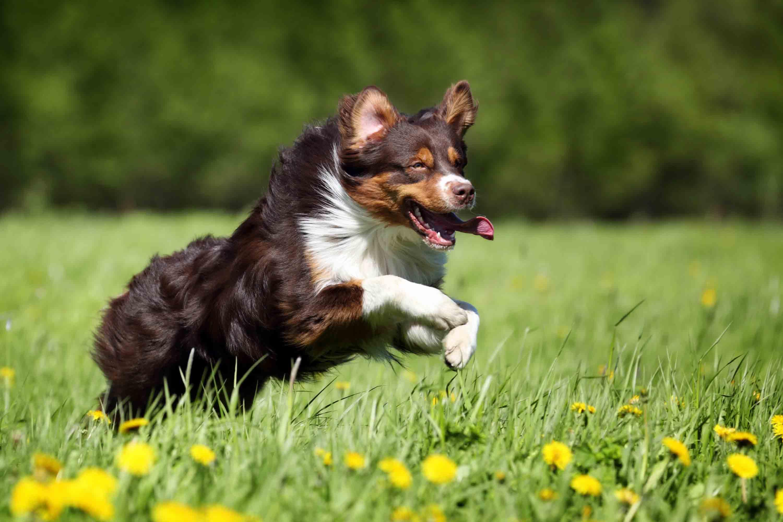 Best Dog Food for an Australian Shepherd with a Sensitive ...