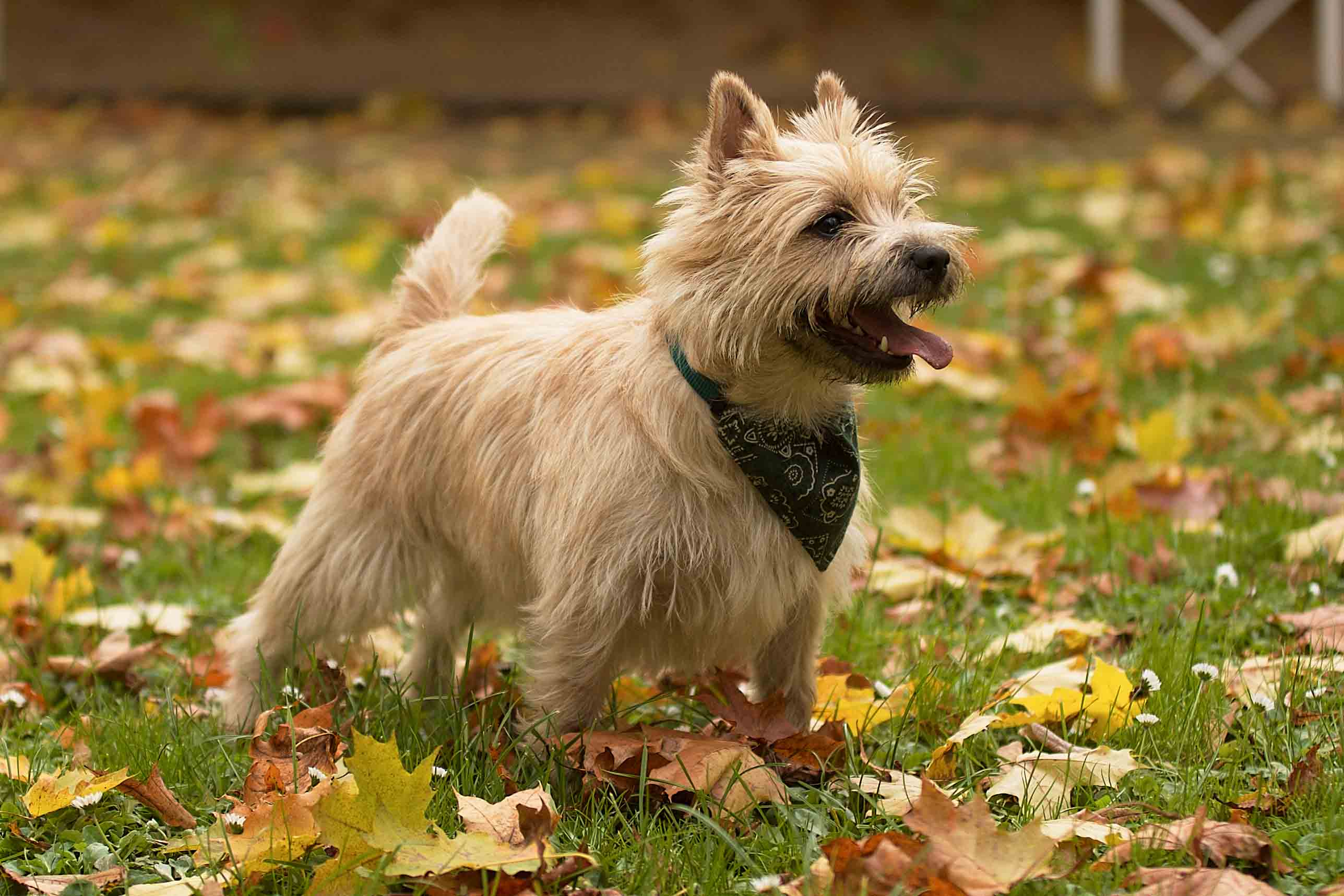 Best Cairn Terrier Dog Food Spot And Tango