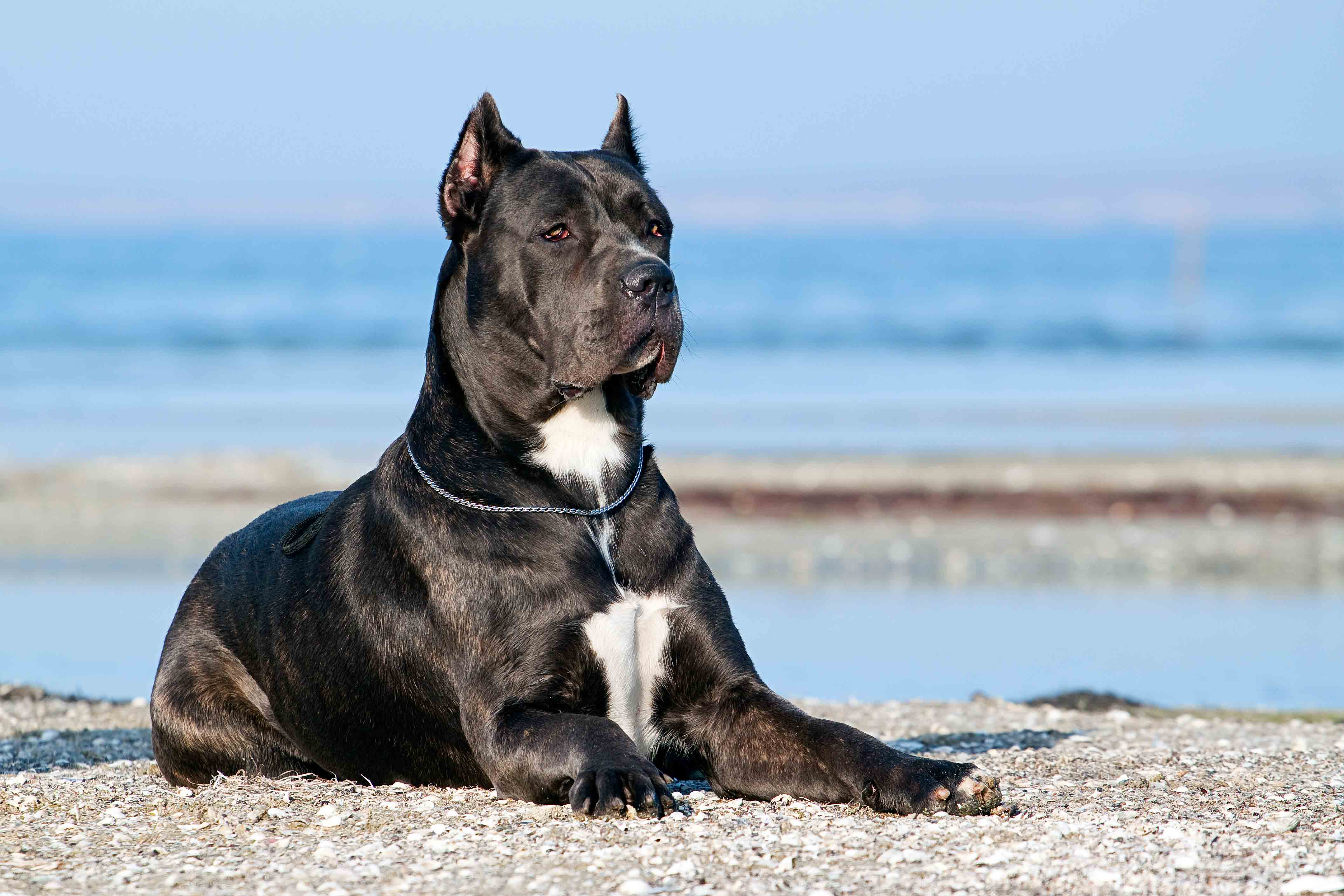 Best Dog Food For A Senior Cane Corso Spot And Tango