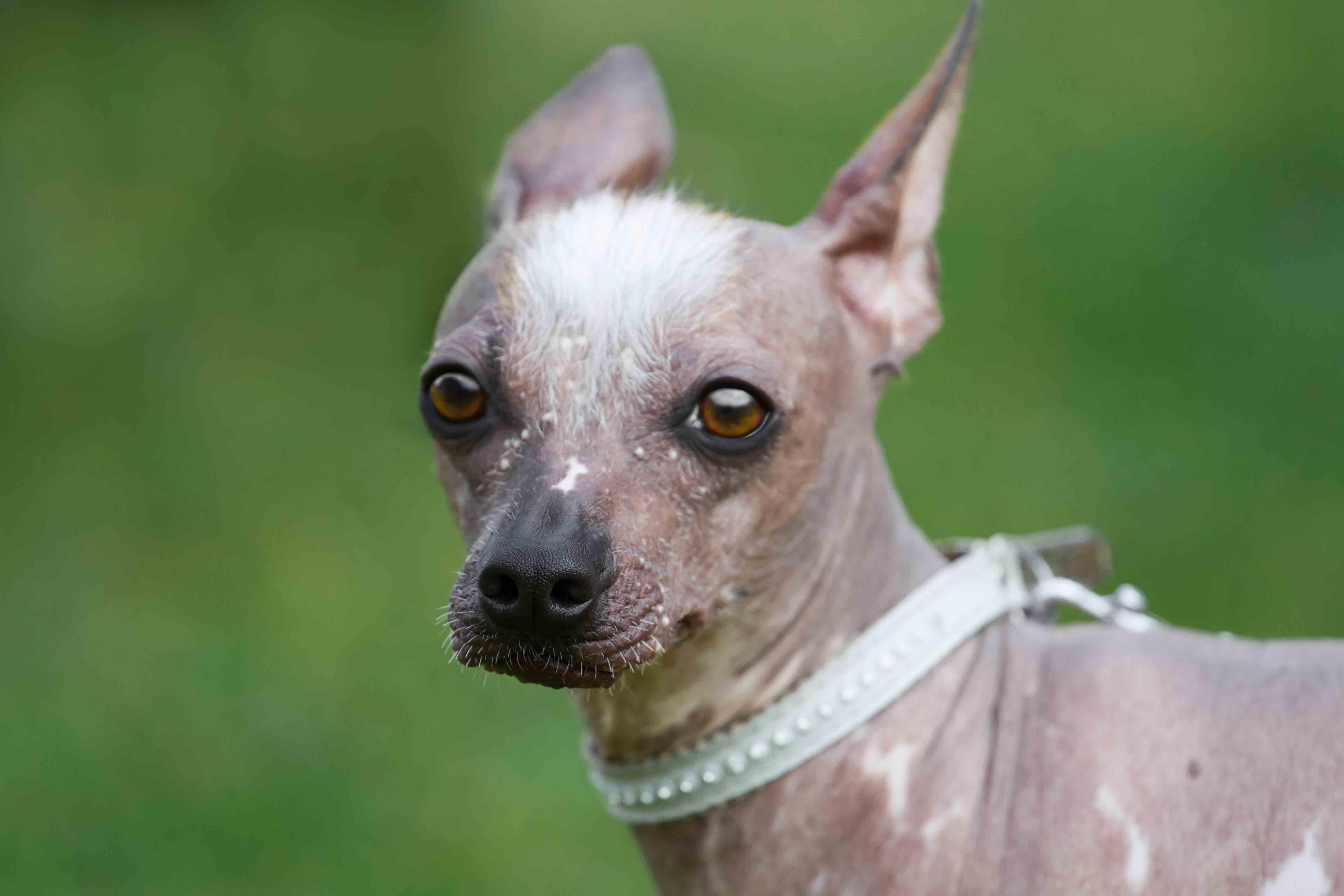 Peruvian Inca Orchid   Dog Breed Info And Characteristics