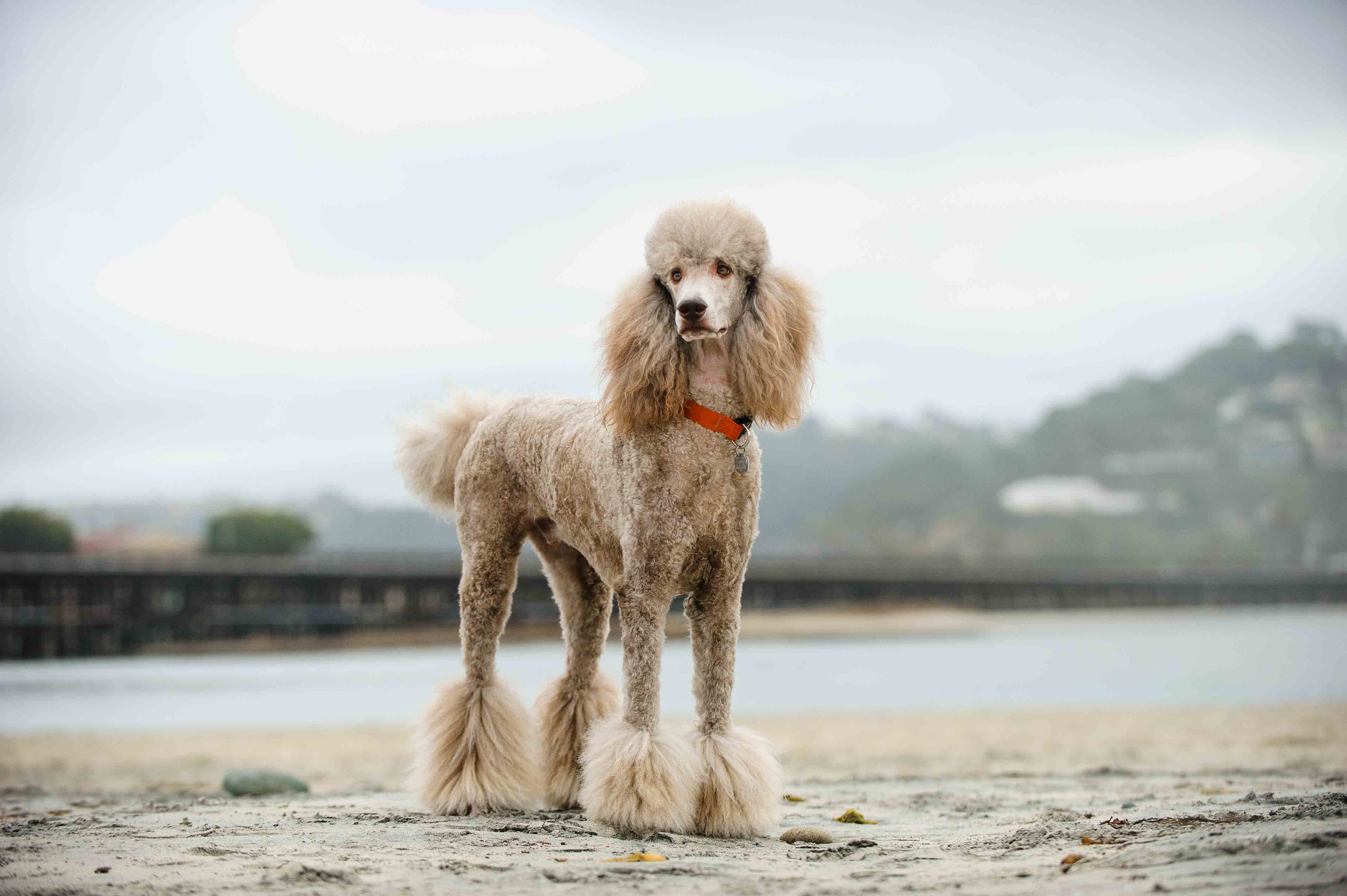 Best Dog Food For An Poodle Standard With A Sensitive